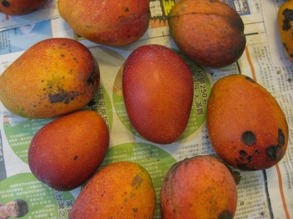 都是爱文芒果。周围是我园子生产的,外相不佳。中间是台南市区里一棵果树生产的,外观完美。都市里也可种水果。